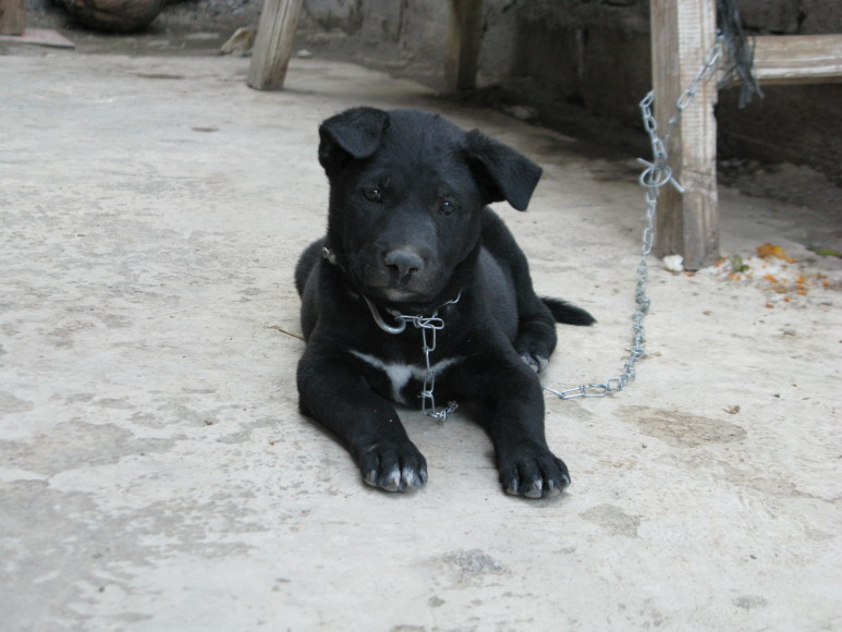 chained puppy